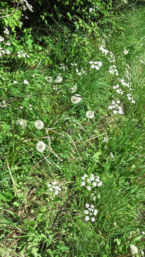 Cow parsley and dandelion clocks