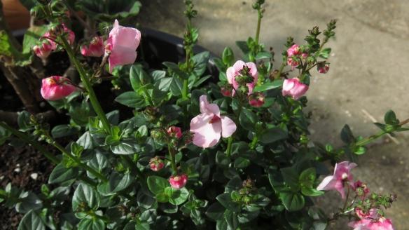 diascia Apple blossom