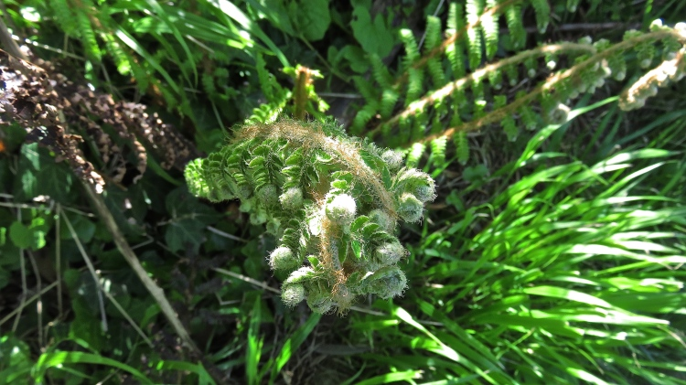 Fern unfurling
