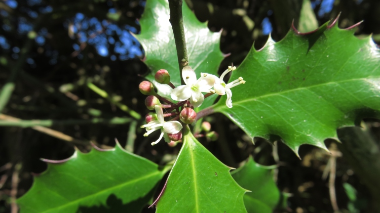 Holly blossom