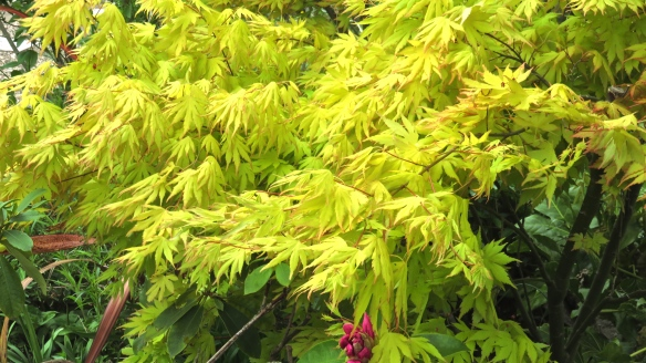 Japanese maple yellow