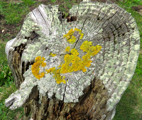 Lichen on stump