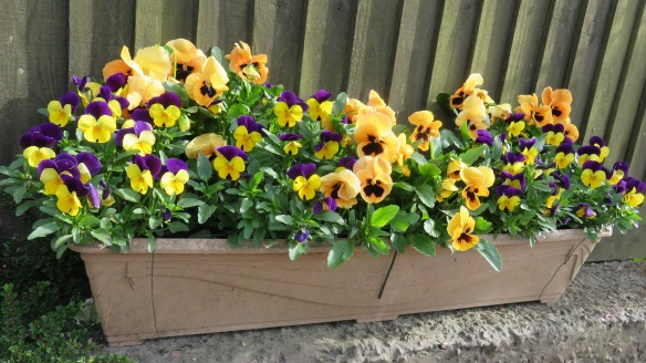 Pansies in window box