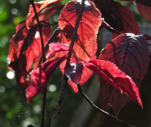 Prunus pissardi 2