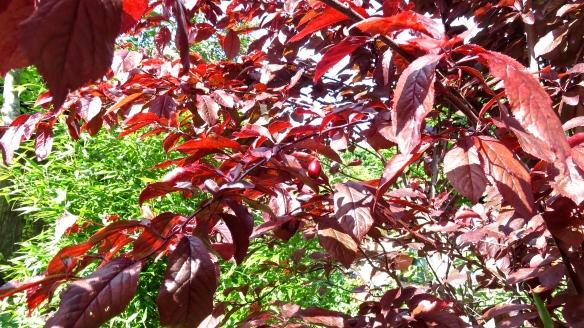 Prunus pissardi 3