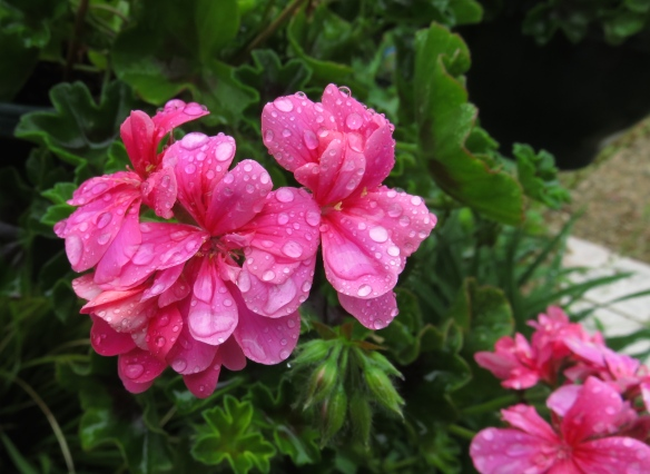 Raindrops on geraniums