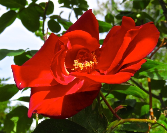 Rose - Altissimo