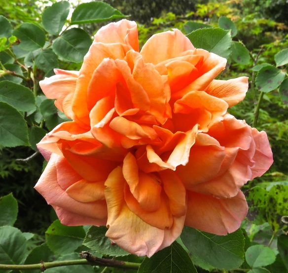 Rose - peach