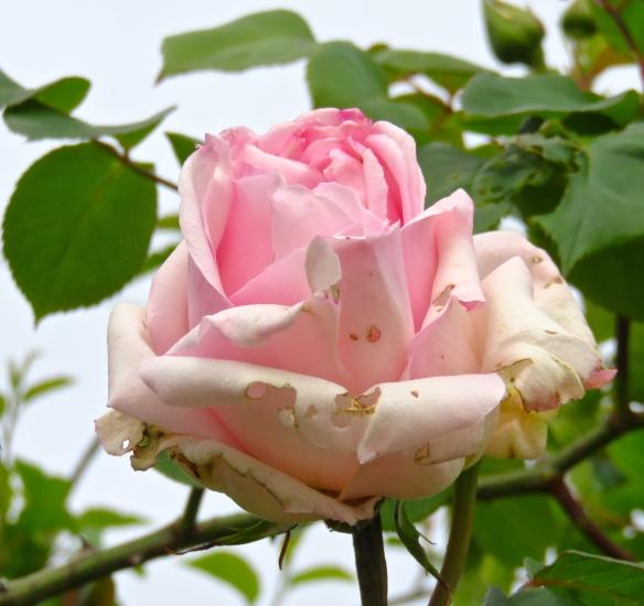 Rose - pink climber