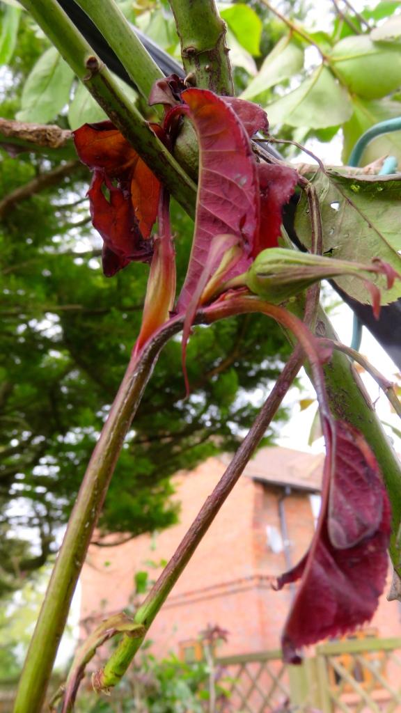 Rose stem hanging