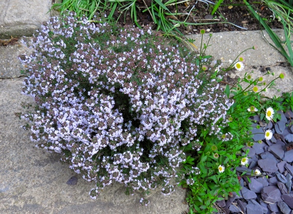 Thyme and erigeron