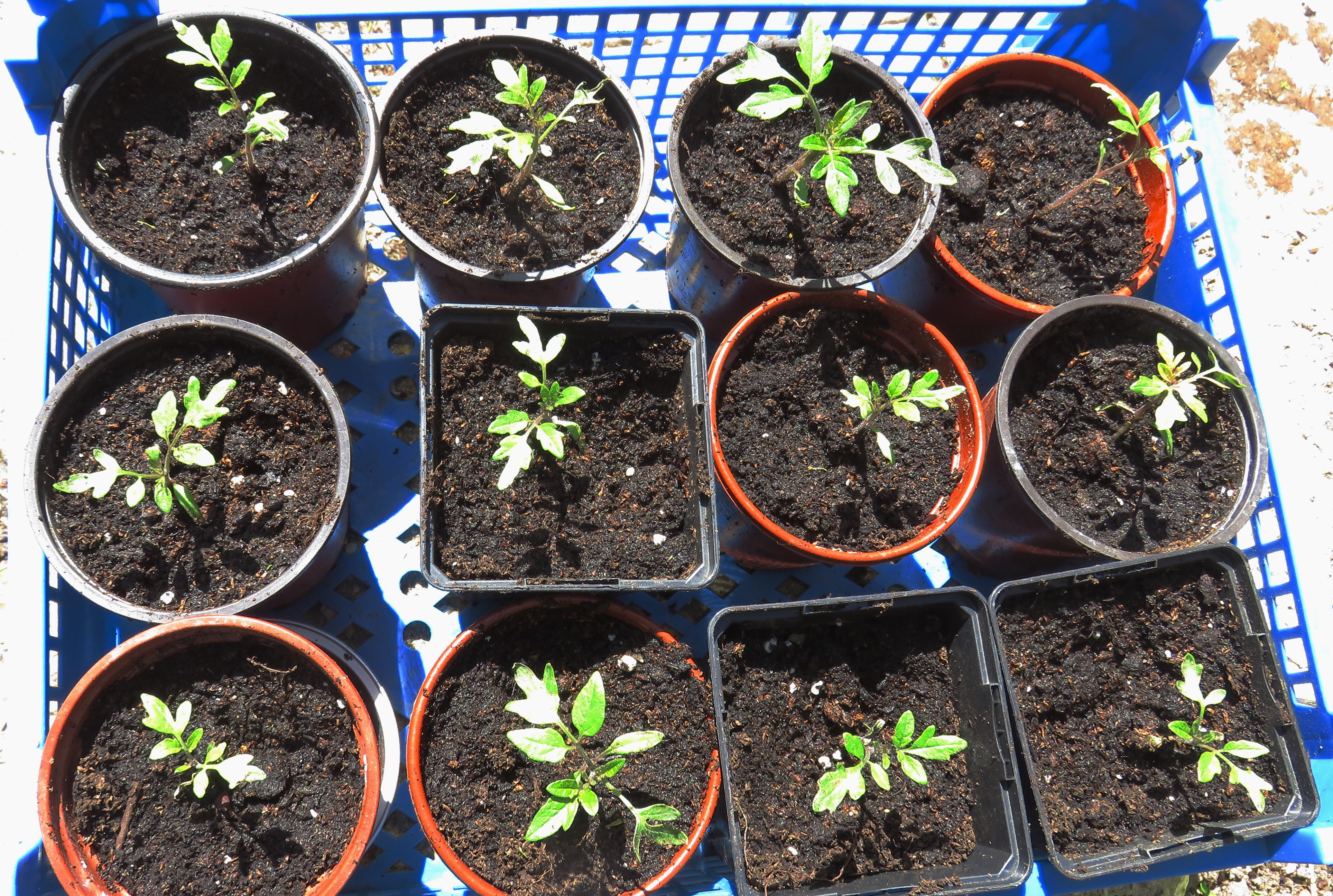 how to take seedlings out of tray