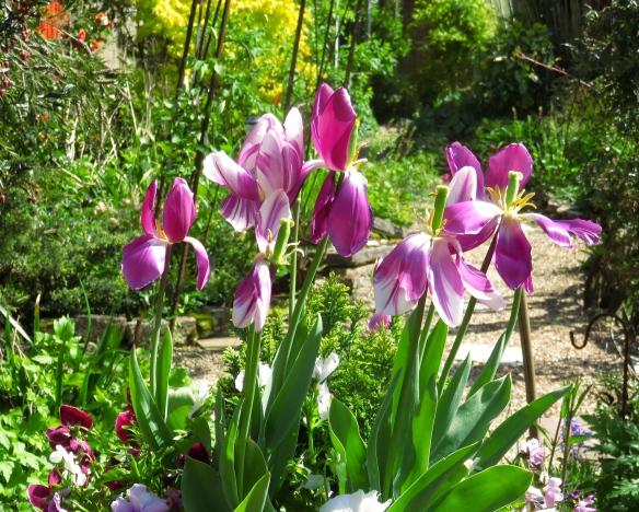 Tulips 4