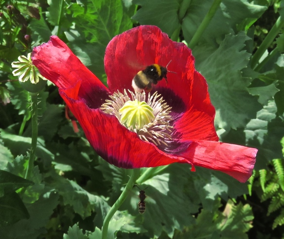 Bee landing on poppy