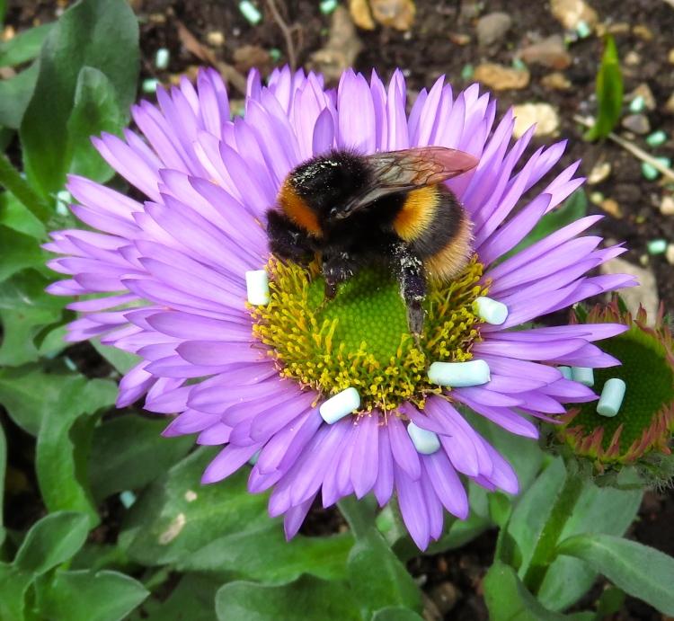 Bee on erigeron Sea Breeze