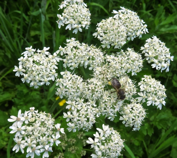 Bee on ow parsley