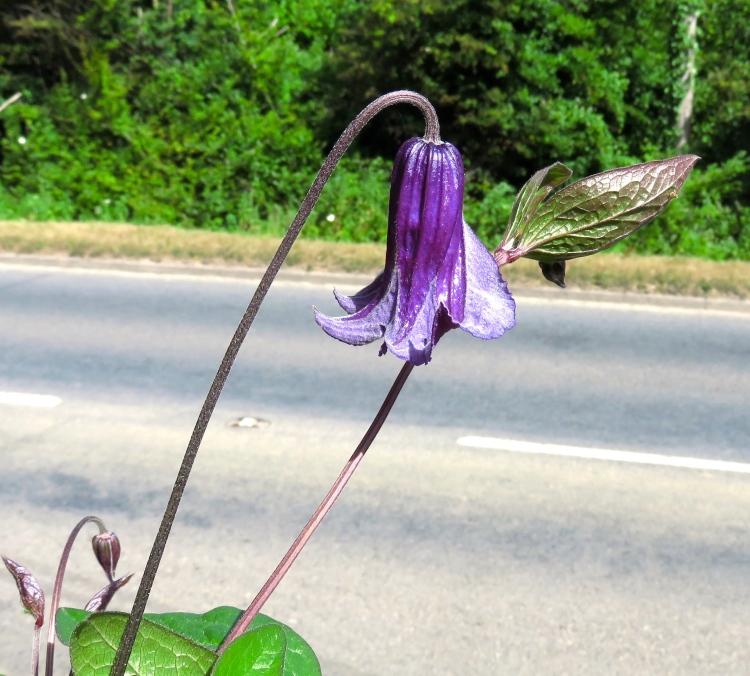 Clematis Diversifolia Hendersonii