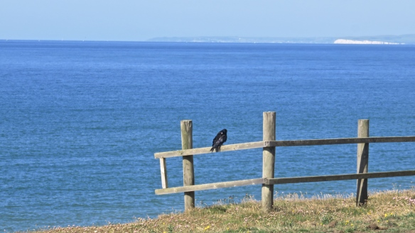 Crow preening
