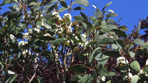 Eucalyptus flowers 1