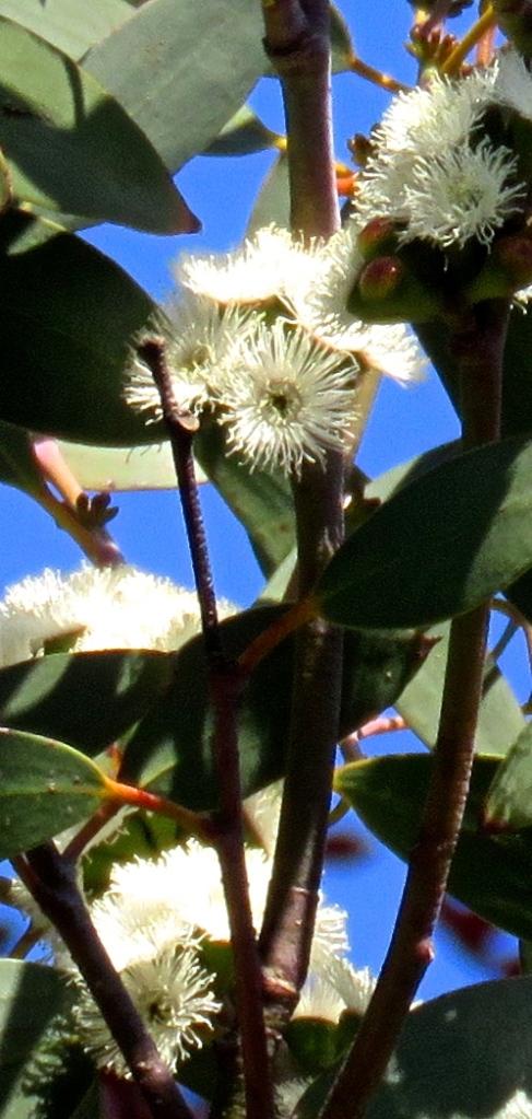 Eucalyptus flowers 2