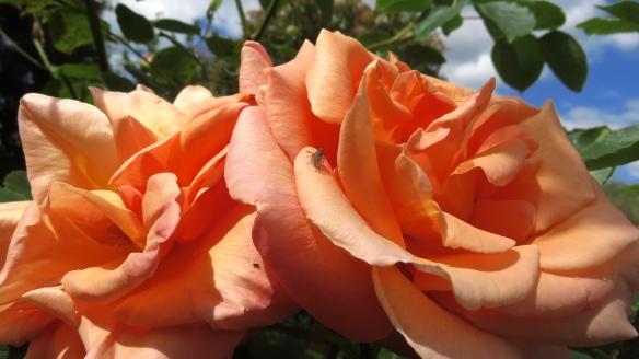 Flies on peach rose