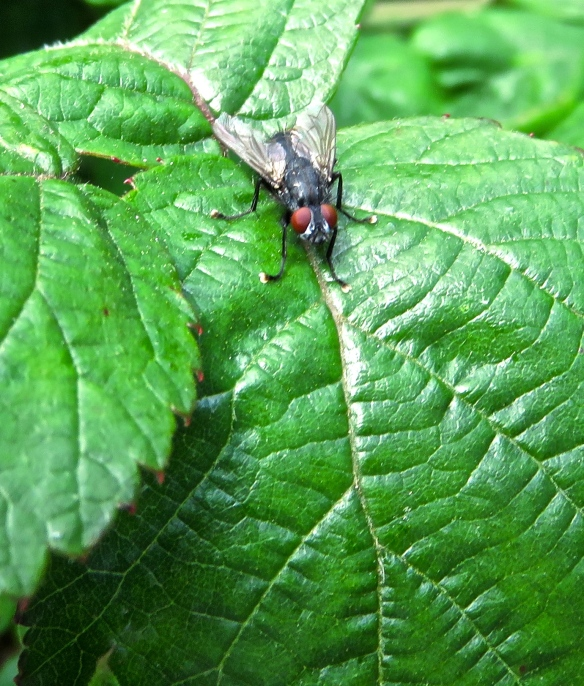 Fly on blaberry leaves