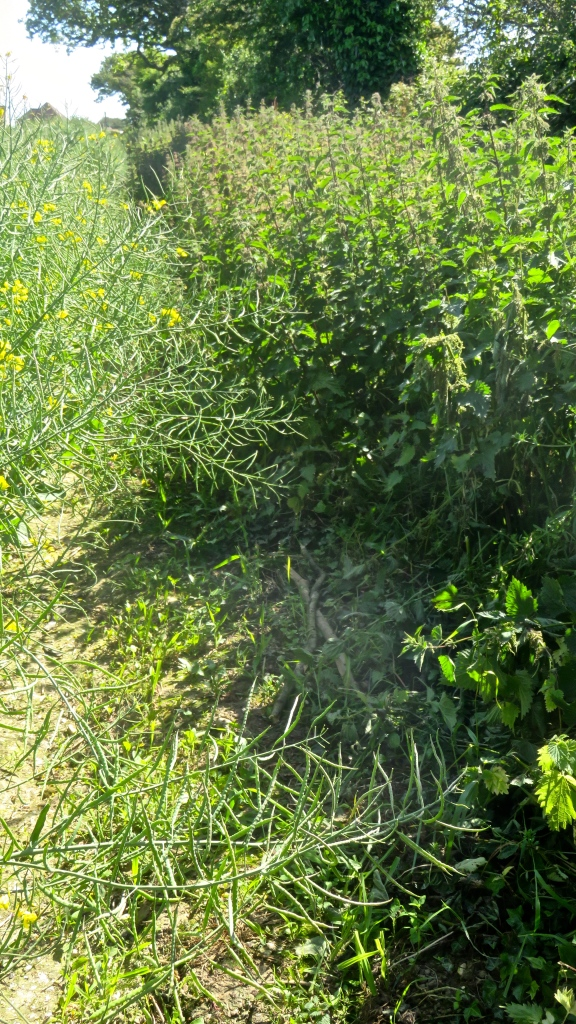 Footpath less overgrown 2