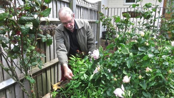 Gardener tending roses