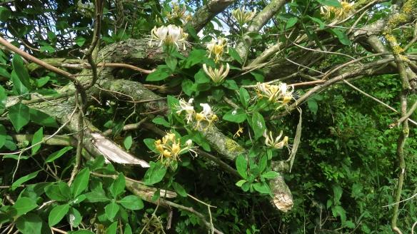 Honeysuckle and lichen