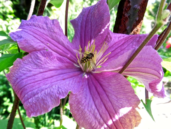 Hoverfly on clematis Comtesse de Bouchard