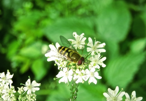 Hoverfly on cow parsley