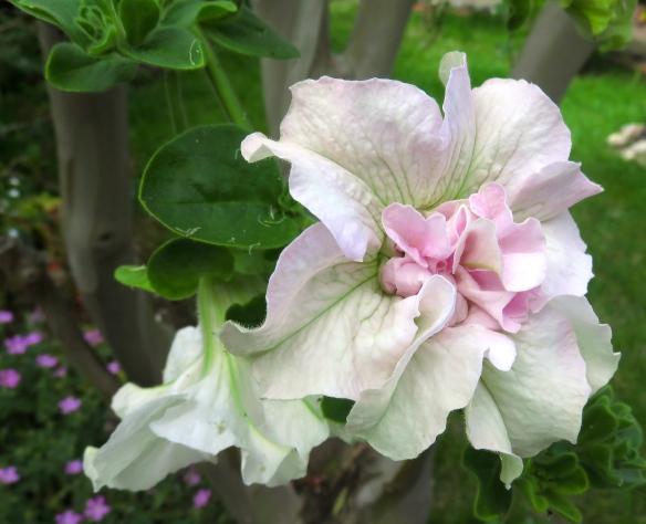 Petunia double white Surfinia