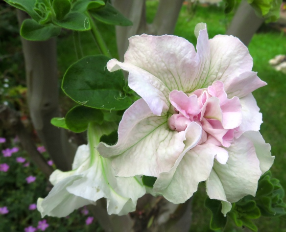 Petunia double white Surfinia