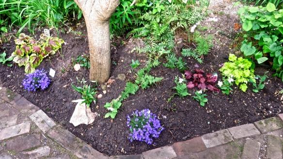 Planting around dead snake bark maple