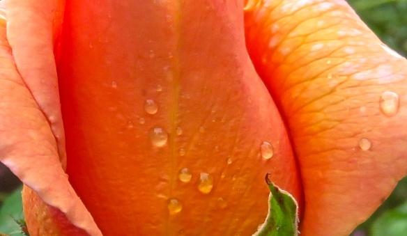 Raindrops on peach rose 1
