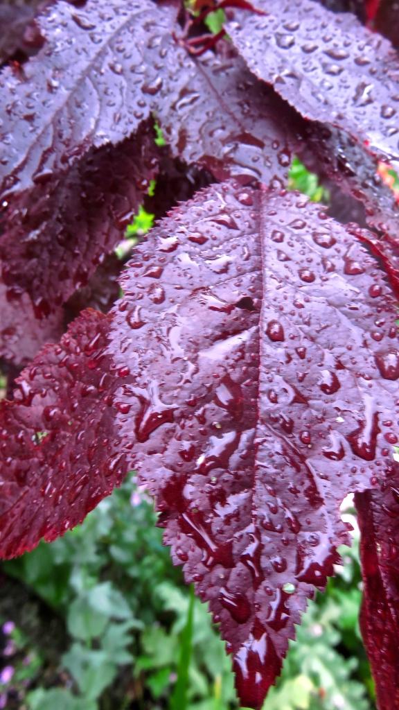 Raindrops on prunus pissardi