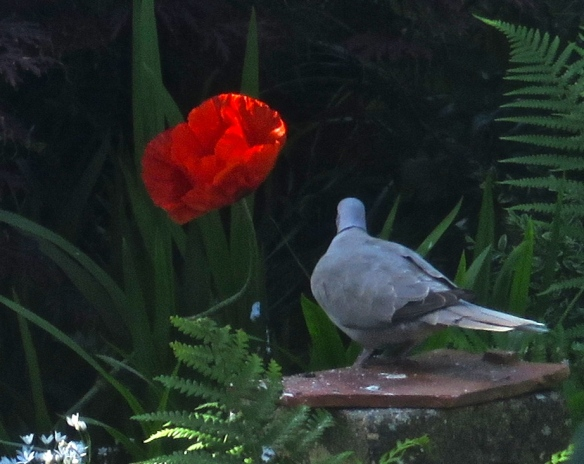 Ring-necked dove and poppy