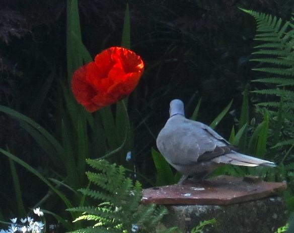 Ring-necked dove and poppy