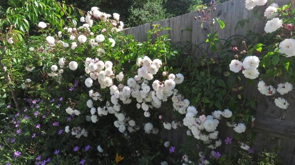 Rose Felicite Perpetue