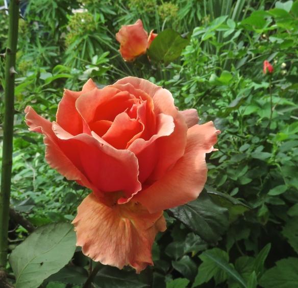 Rose peach climber