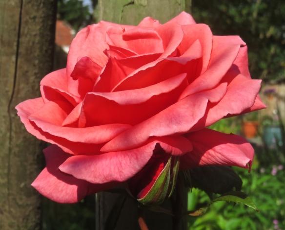 Rose - red climber
