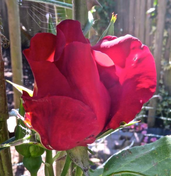 Rose, red climber