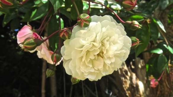 Rose - white rambler