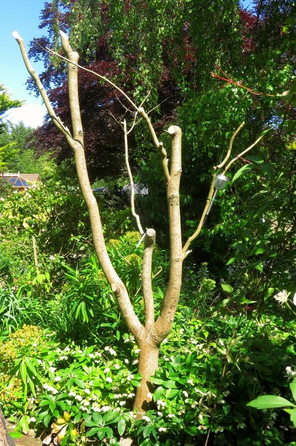 Snake Bark maple skeleton