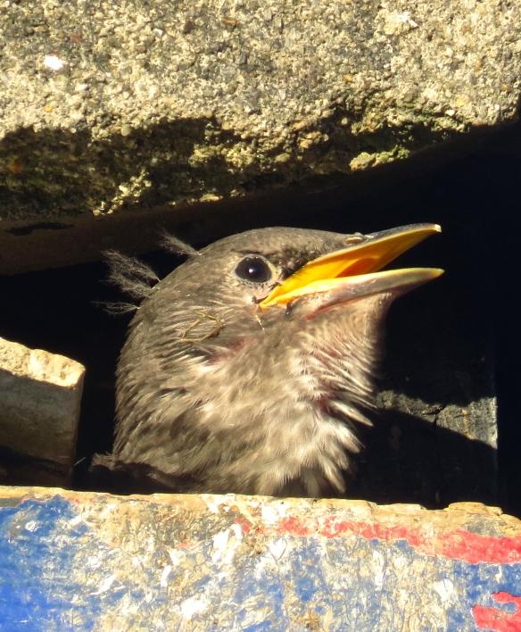 Starling chick 1