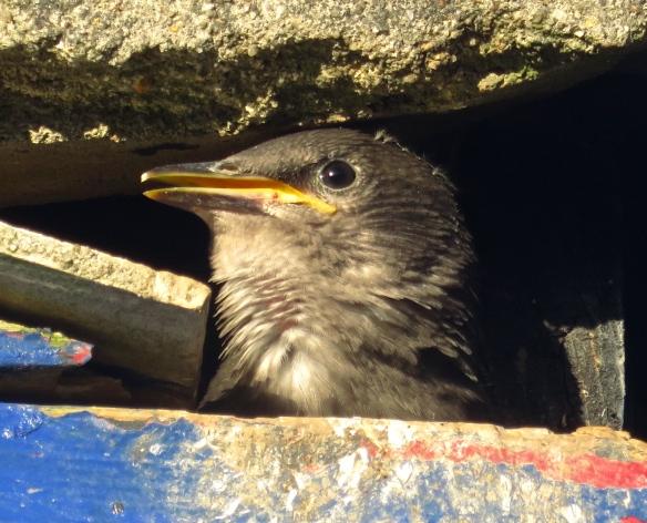 Starling chick 2
