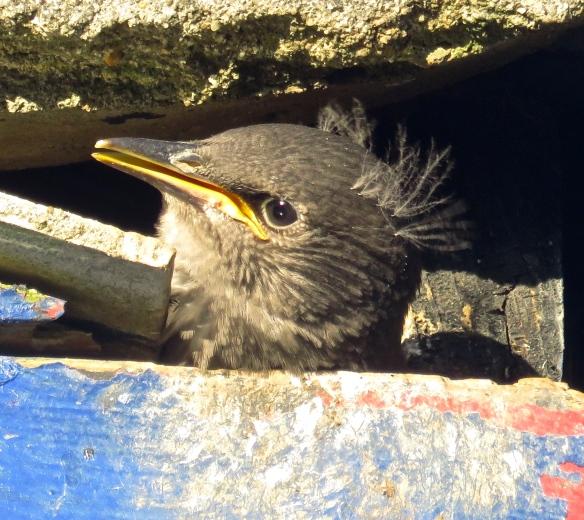 Starling chick 3