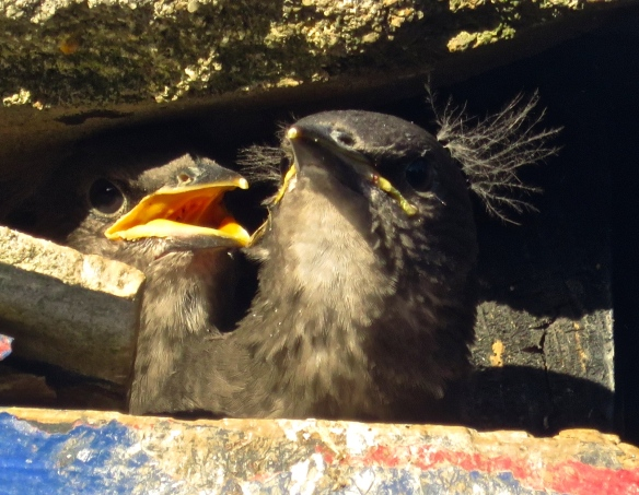 Starling chicks
