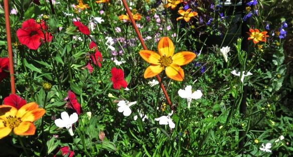 Bidens and petunias