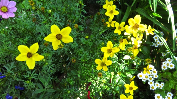 Bidens, cosmos, daisies, and lobelia